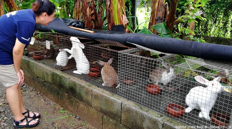 Teodoro's Farm Bustos Bulacan rabbits